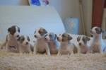 7 октября родились щенки!