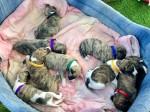 3 августа родились щенки уиппета, помет «Ю»!